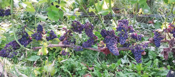 Foto van blauwe druiven