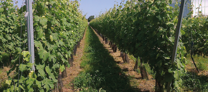 Foto van de wijngaard